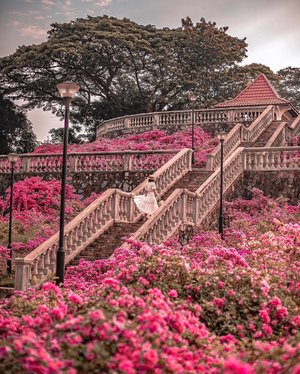 Singapore's best keep secret place 🤫 Lol kidding! This is at Telok Blangah Hill Park.. and this month is the bougainvillea blooming season, they bloom twice a year, every March and August. If you plan your trip around this time, you might get photos with full bloom bougainvillea.  • • I got tempted to edit the bougainvillea to make it fuller but it gets too fake that i decided that real photo of bougainvillea in full bloom which look so much nicer!  • • Fact about Bougainvillea: It's not the flowers that make this plant so colourful, it's actually the magenta bracts. The flowers are just tiny and white. Have a closer look! • • #exploreSingapore #VisitSingapore #singaporeworld #singaporeinsiders #TelokBlangahHillPark #Bougainvillea