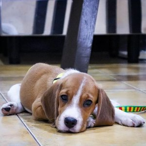 This little bugger is the reason why I haven't slept much in the last couple of days (and why I havent been online much too lol). Meet the little bruha Zoe the Beagle! 🐶🐶🐶 . My mom got her as a gift from a friend and because Mom is in the province visiting on Zoe's first week in her new home, I am left with the task of potty training and looking after her. OMG she is a handful! 😲 She likes to play a lot and loves chewing things - two things my @ChubbsterBuster is not so this is definitely new to me. Potty training is going well, she is quite smart (which I think is to be expected with Beagles). Hopefully she becomes more manageable soon! As soon as we complete her shots, she and Chubbs will start going on walks in the hopes that that will tire her out and make her more mellow LOL.💪 . As for Chabooty, he is being a VERY good boi! He doesnt like neediness (like me LOL), and definitely hates rowdy dogs, so I was worried he'd be snappy but he is surprisingly very patient and lenient! Zoe chewed on his tail yesterday, but he just let it be. She also often gets up in his face but unless she starts to go crazy and hurts him, he just allows it. I am so proud of my babyboi! 😇 #ChabootyTheGoodestBoi . Beagle parents/dog parents, do you have tips for me for training active/hyper puppies? I try to play with her as much as I can but her energy seems to be unlimited!!! 😂 #pawrent #beaglesPH #BeaglePuppy #ChubbsterBuster #ZozoBear