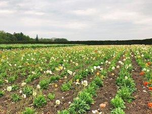 Let's get lost in a field of flowers 🌸☺️ #hokkaido #clozette #japan #farmtomita